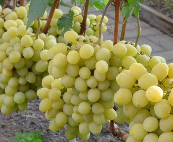 Описание и характеристика винограда сорта Валек, технология выращивания