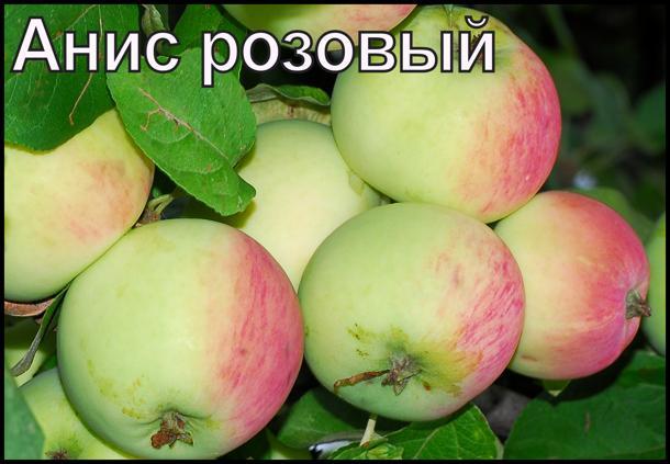 Описание сорта яблони анис пурпуровый: фото яблок, важные характеристики, урожайность с дерева