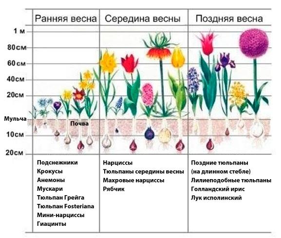 О сортах нарциссов: описание и характеристики, агротехника выращивания