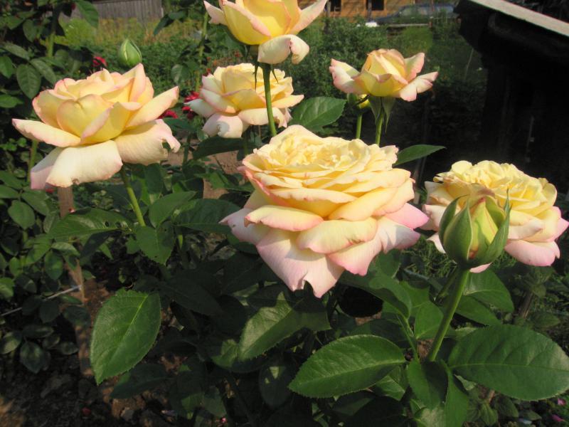 Сорт розы gloria dei: описание и история появления глории дей, посадка и уход