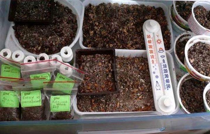 Стратификация семян в домашних условиях – что это, как её проводить