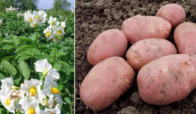 Неприхотливый сорт картофеля «утро раннее»: смогут вырастить даже новички