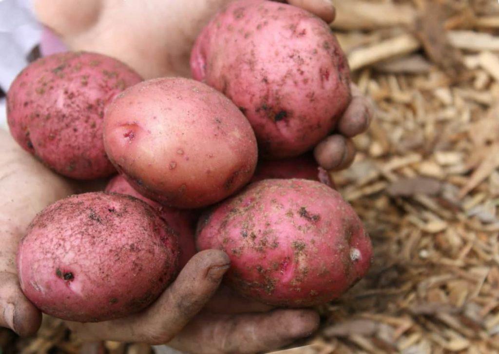 Картофель голубизна описание сорта отзывы
