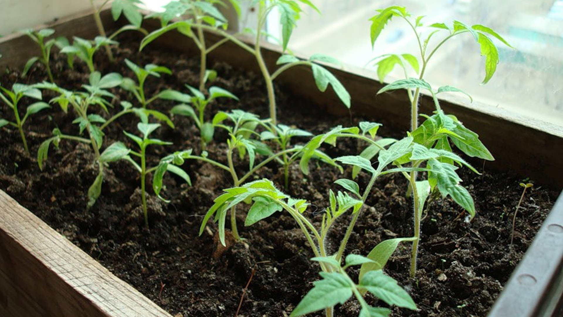 Выращивание помидоров черри: как вырастить томаты в теплице или в открытом грунте на даче, когда сеять семена на рассаду, в какую землю можно сажать, а также уход