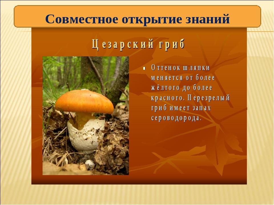 Цезарский гриб — википедия