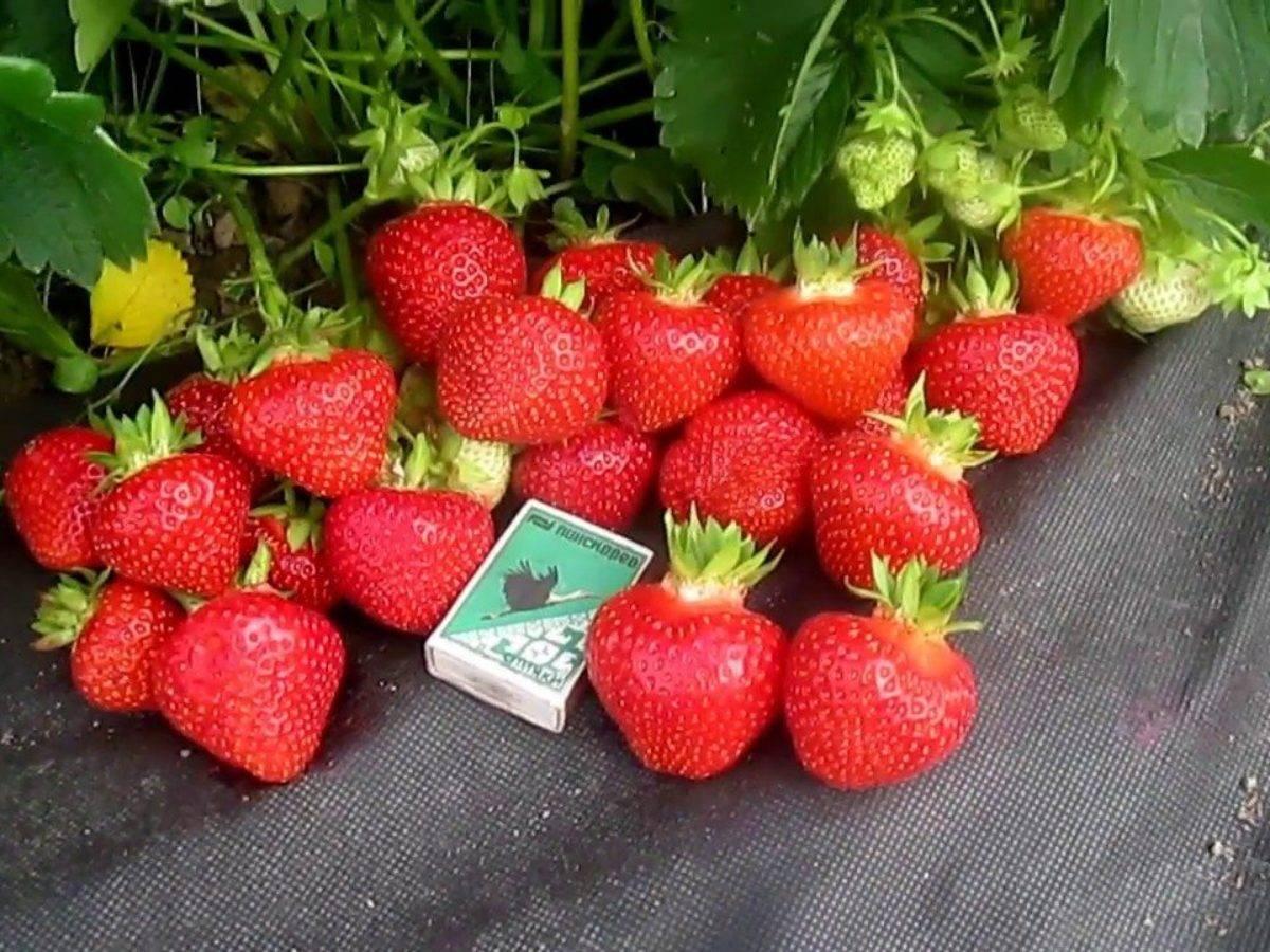 Клубника альбион: описание сорта с характеристикой и отзывами, особенности посадки и выращивания, фото
