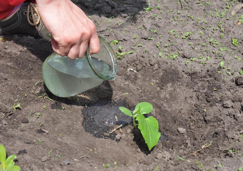 Когда и как правильно сажать рассаду огурцов