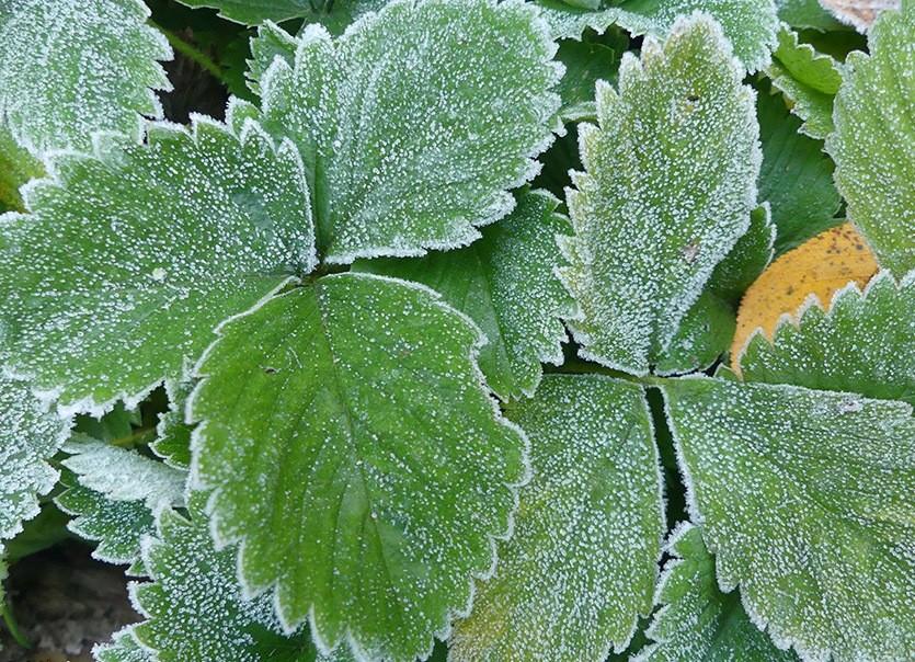 Сохнут листья клубники: причины, что делать