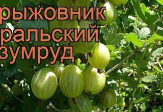 Описание крыжовника русский жёлтый: особенности ухода