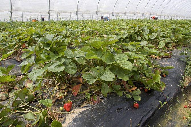 Выращивание клубники в теплице: обзор классических и современных методов
