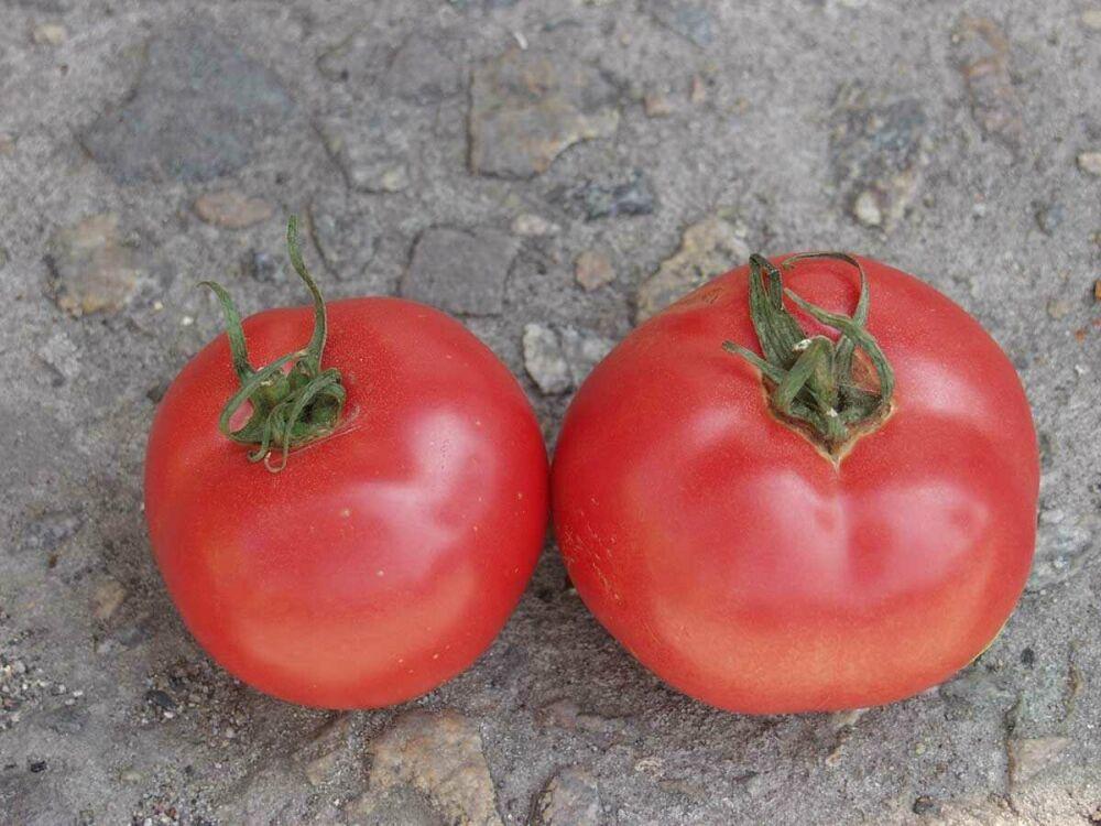 Томат санрайз f1: описание и характеристика сорта, особенности выращивания помидоров, отзывы, фото