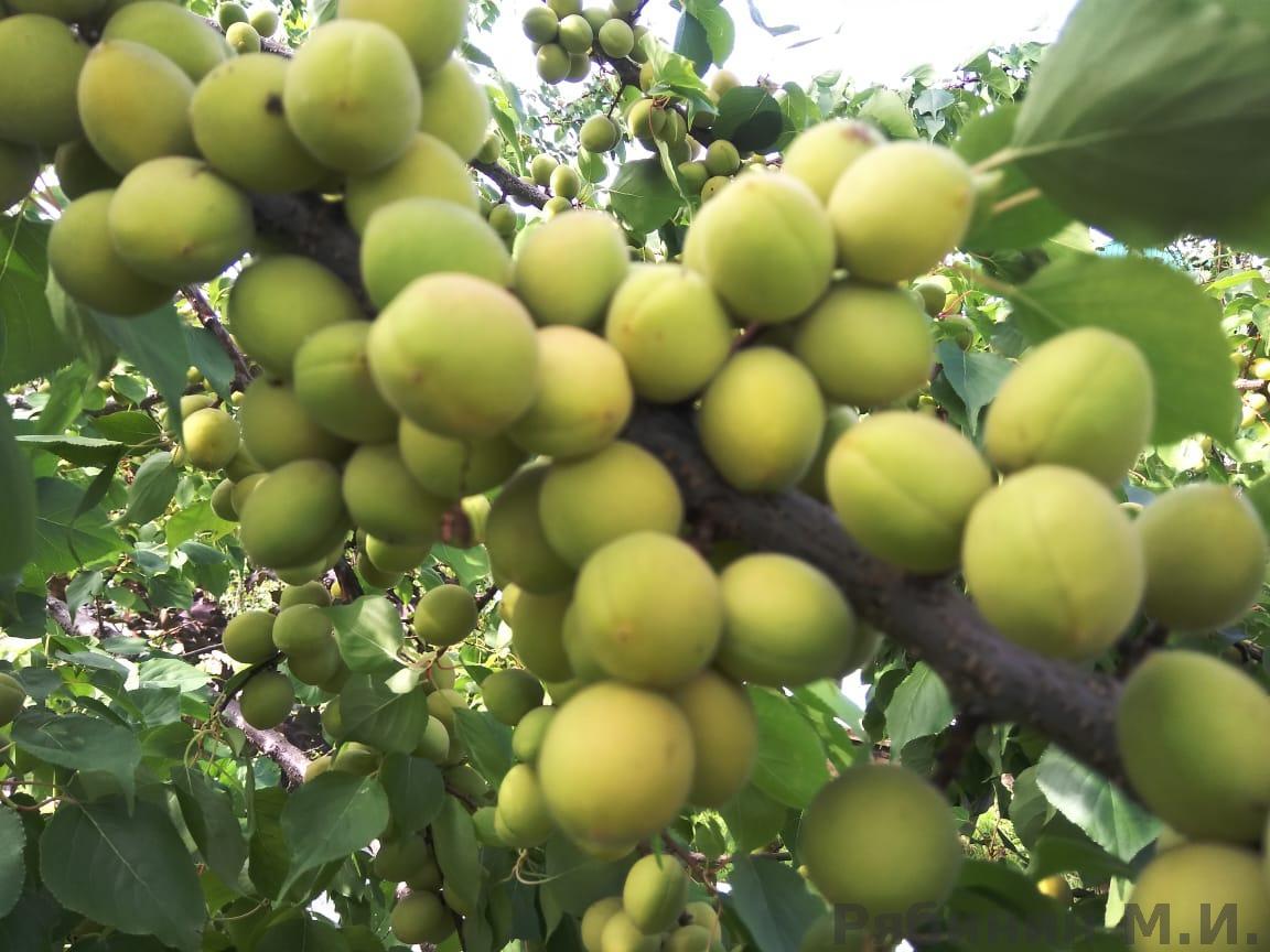 Почему слива сбрасывает зеленые плоды: распространенные причины, возможные болезни и вредители (видео и 75 фото)