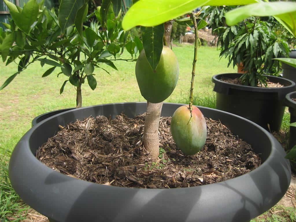 Как вырастить манго из косточки в домашних условиях: проращивание, посадка и особенности ухода. 120 фото этапов выращивания манго