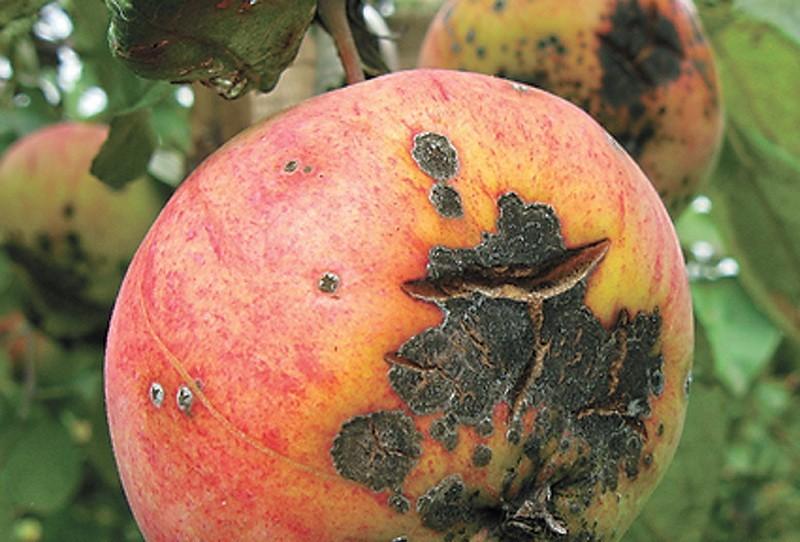 Методы борьбы с черным раком на яблонях