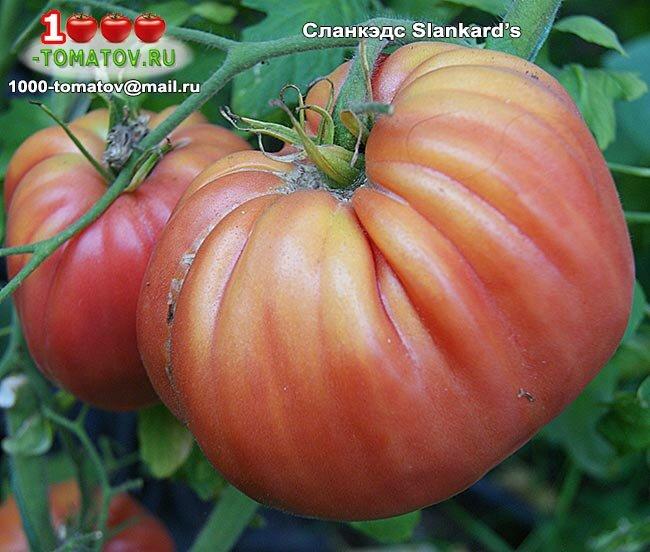 Сорта томатов гигантов для средней полосы россии с фото и описанием