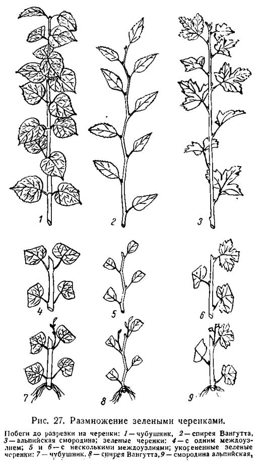 Барбарис: размножение черенками, описание (фото)