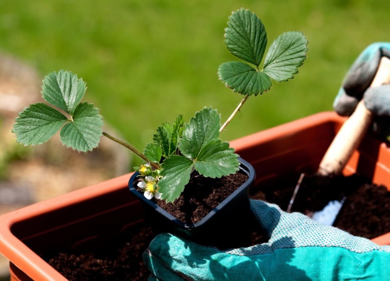 Способы, как в домашних условиях получить семена клубники из ягоды