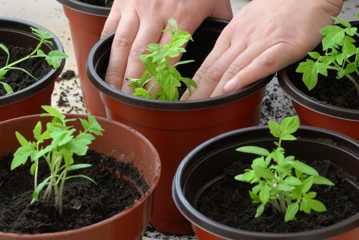 Как посадить помидоры на рассаду правильно дома на подоконнике с фото и видео