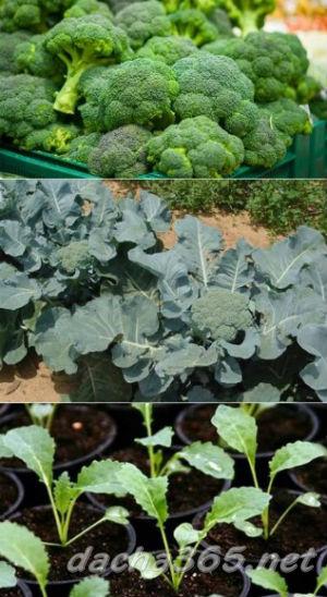 Брокколи - выращивание и уход на огороде
