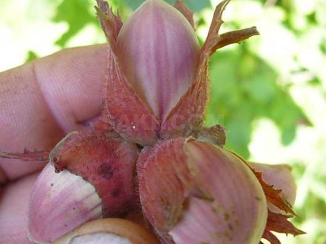 Лещина обыкновенная: посадка и уход, выращивание и размножение, болезни и удобрения