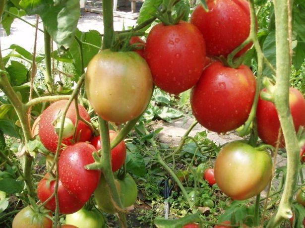 Томат бабушкино: отзывы, фото, урожайность, описание и характеристика   tomatland.ru
