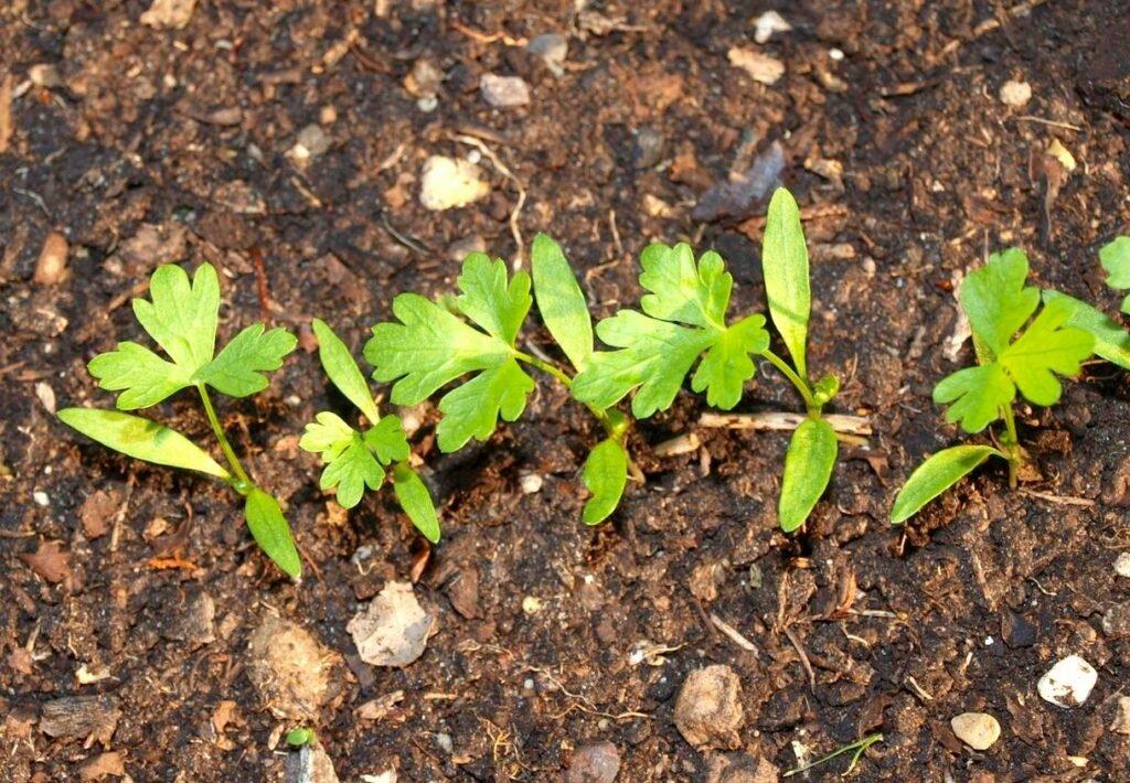 Как правильно посадить петрушку   вырасти сад!