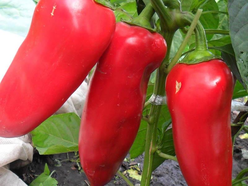 Перец «воловье ухо»: характеристика сорта, выращивание, отзывы