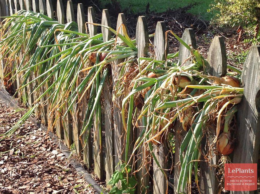 Как правильно и где лучше сушить лук после уборки с грядки - всё про сады