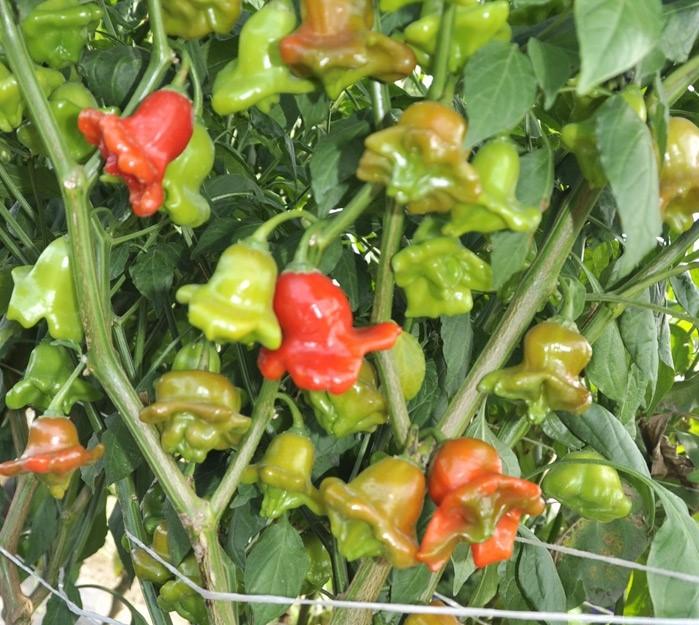 """Красный перец """"колокольчик"""": подробное описание сорта, фото, правила выращивания selo.guru — интернет портал о сельском хозяйстве"""