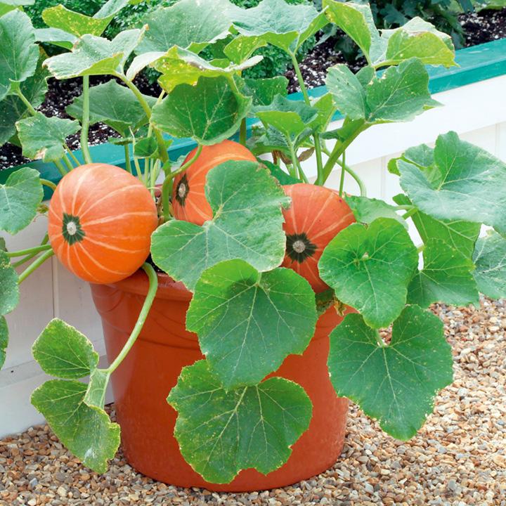 Выращивание тыквы: хитрости и секреты урожая - дачные советы.ру