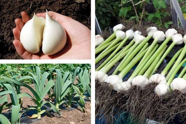 Описание, характеристика и особенности выращивания чеснока рокамболь