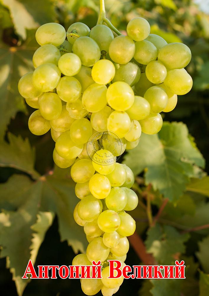 Сорт винограда велика: фото, отзывы, описание, характеристики.