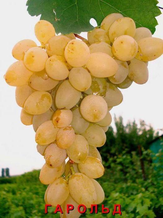 Виноград гарольд: описание сорта, фото, отзывы, видео
