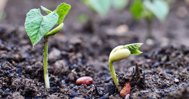 Как и где растет фасоль, правила посадки и ухода в открытом грунте