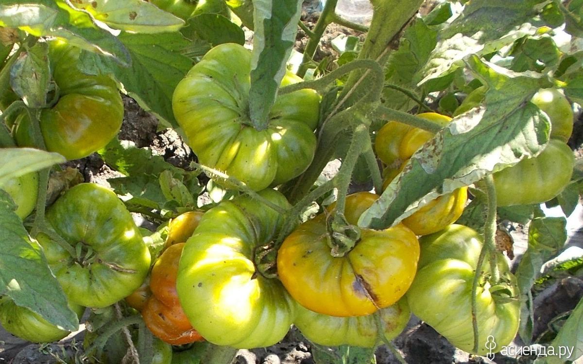 Изумрудное яблоко — томат для гурманов. описание сорта и рекомендации по выращиванию