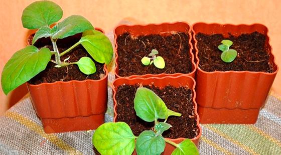 Физалис: выращивание из семян через рассаду и безрассадным способом