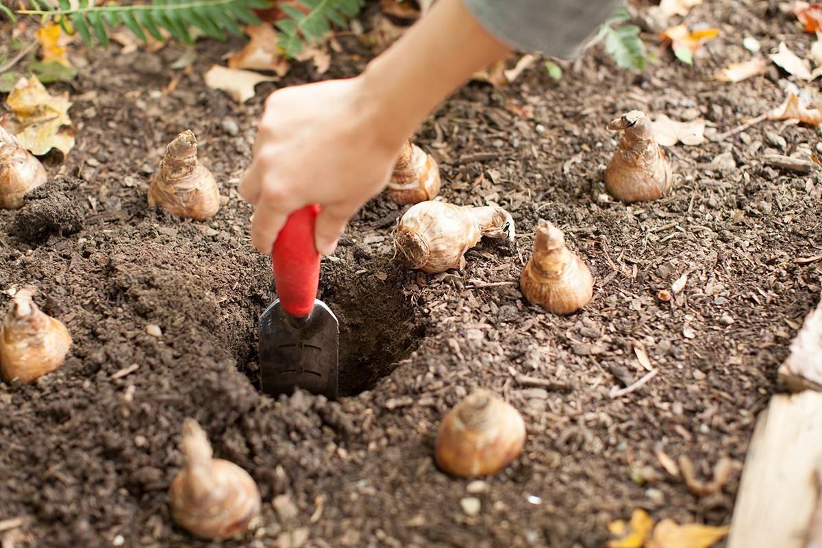 Посадка тюльпанов осенью – время проведения работ и инструкции новичку