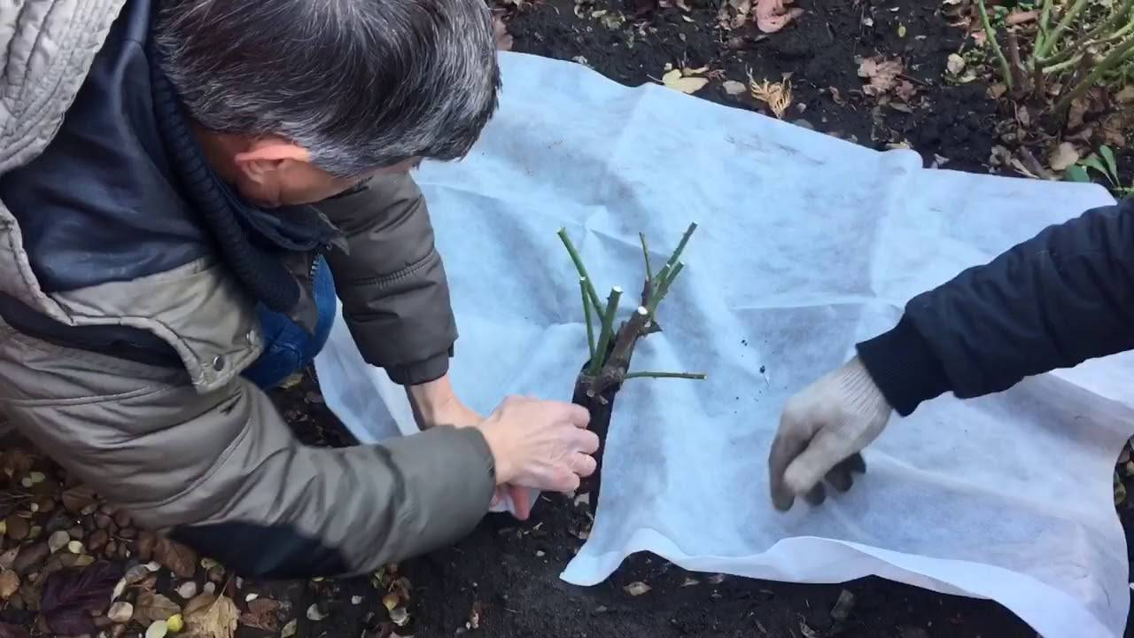 Уход за гортензией осенью, подготовка к зиме: обрезка, полив и подкормка