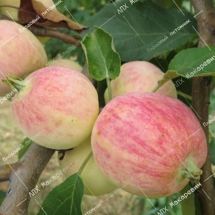 Яблоня штрейфлинг: описание сорта, фото, отзывы