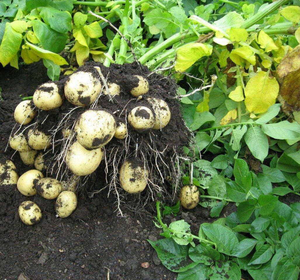 Картофель гала: характеристика сорта, отзывы, описание сорта