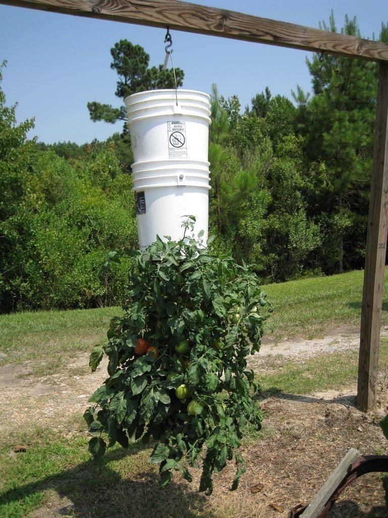 ᐉ помидоры вверх тормашками - особенности выращивания, уход, видео