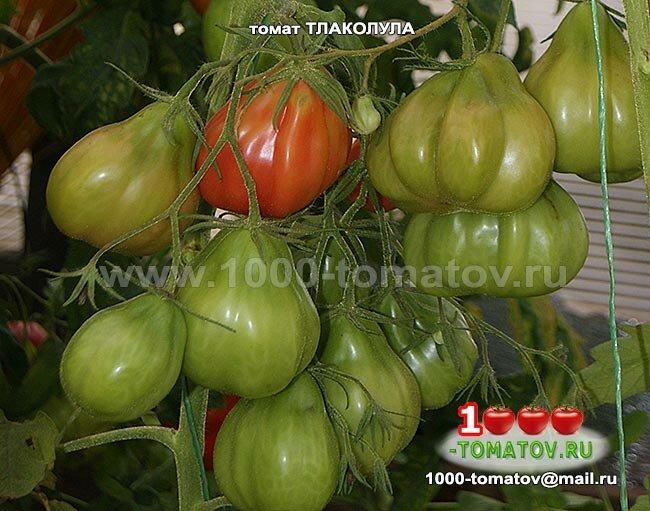 Описание и разновидности сорта томата тлаколула де матаморос, его урожайность