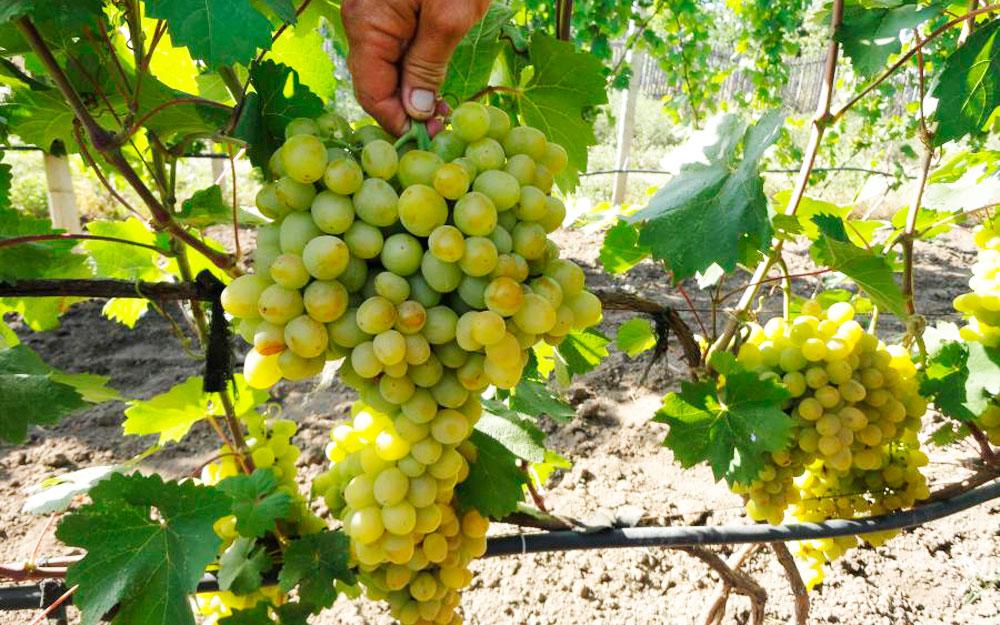 Виноград красотка: описание сорта, фото, отзывы