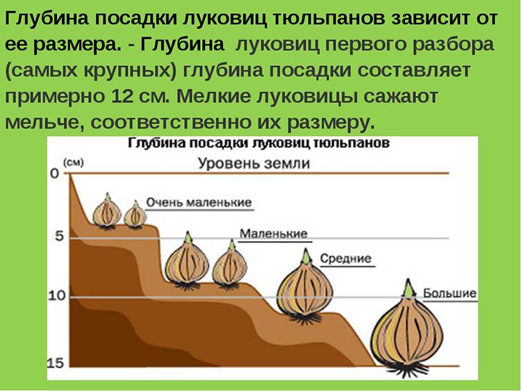 Когда и как правильно садить тюльпаны на Урале осенью и уход в открытом грунте