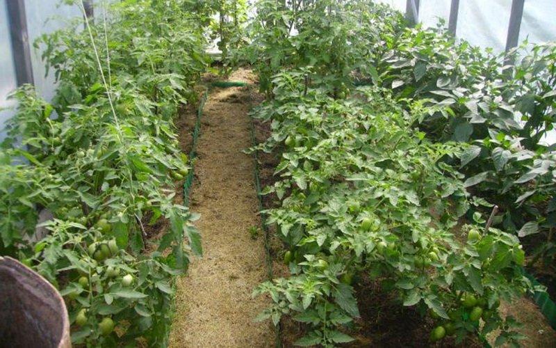 Как вырастить помидоры: агротехника возделывания хороших томатов правильно от а до я, а также секреты, как лучше осуществлять уход для получения большого урожая русский фермер