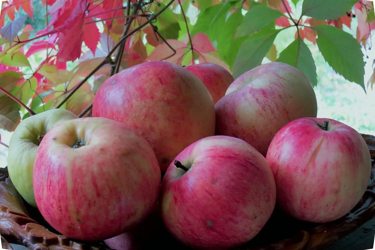 Яблоня штрейфлинг: особенности и характеристики сорта