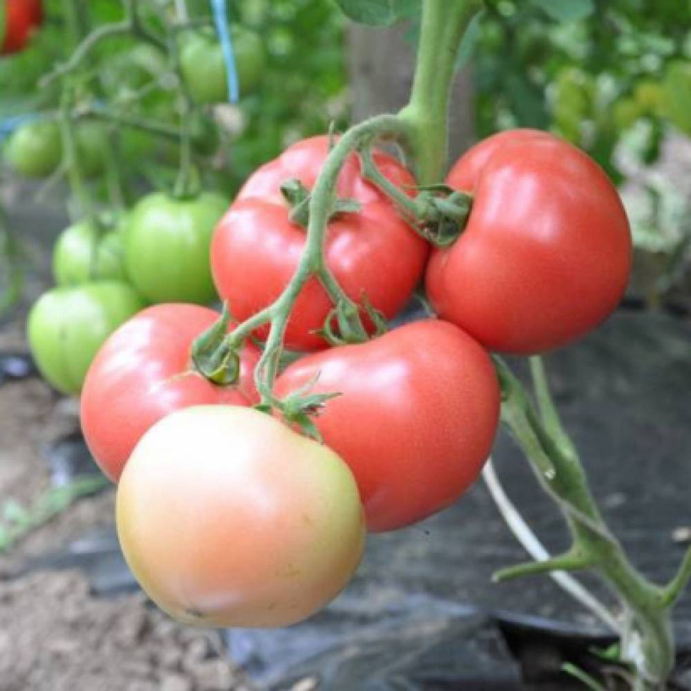 Характеристика томат «пинк уникум f1»: отзывы, фото куста