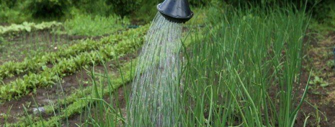 Основные правила и советы по поливу лука после посадки, в период роста и набора массы до сбора урожая |