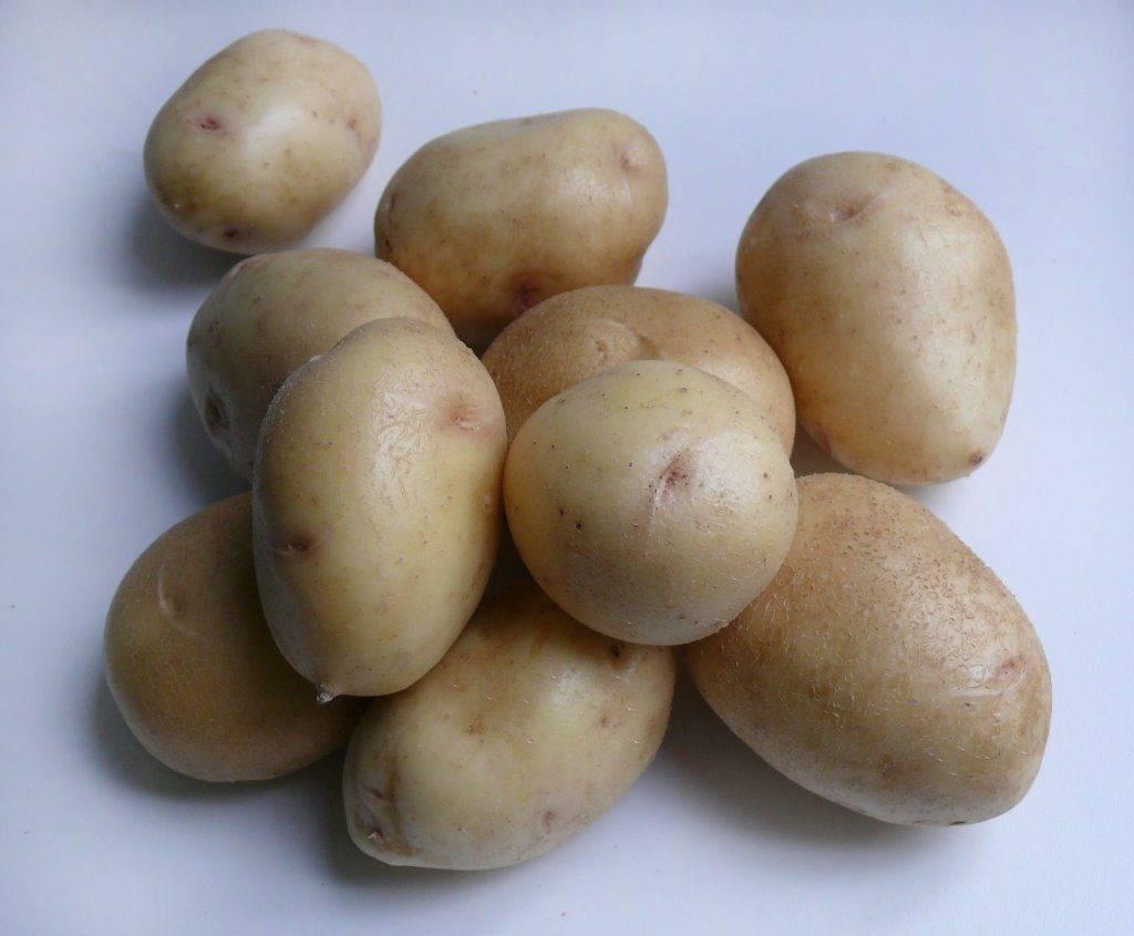 Картофель зекура: описание и характеристика сорта, отзывы