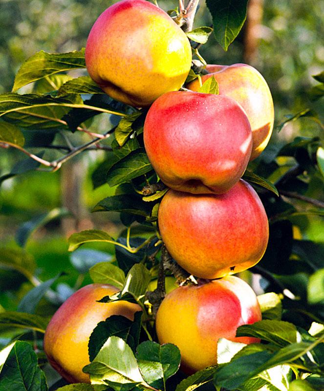 Яблоня августа: описание, фото, отзывы садоводов о летнем сорте